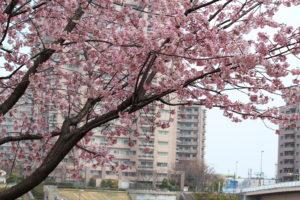 散歩道・桜